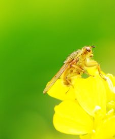 Rape Flower And  Flies Royalty Free Stock Image