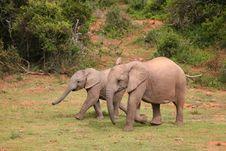 Young Elephants Stock Photos