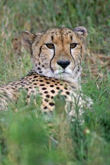 Free Cheetah  1 Stock Image - 4608281