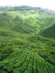 Free Tea Plantations Royalty Free Stock Photo - 4608445