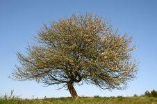 Free Tree Spring Aples Stock Photos - 4608593