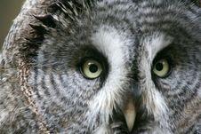 Free Owl Royalty Free Stock Photo - 4608675