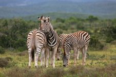 Free Zebras Grooming Stock Photography - 4609312
