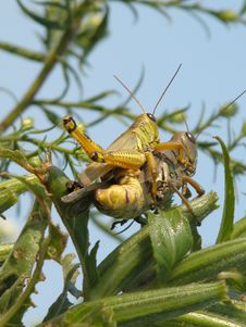 Free Grasshoppers Stock Image - 4609321