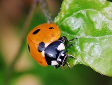 Free Ladybird Stock Photos - 4609443