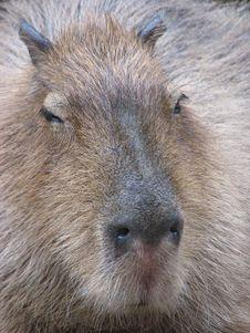 Free Capybara Closeup Stock Image - 4609511