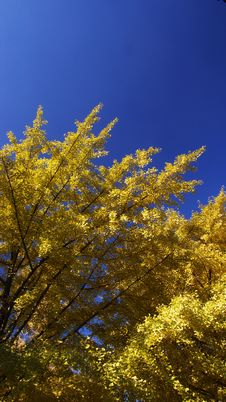 Free Ginkgo Royalty Free Stock Photography - 4609517
