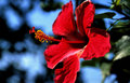 Free Red Blossom Of Hibiscus Royalty Free Stock Image - 4611706