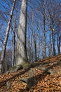 Free Beech Trees Stock Images - 4611744