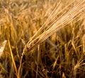 Free Wheat Ear Closeup Royalty Free Stock Photo - 4612715
