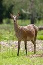 Free Red Deer Royalty Free Stock Photos - 4614798
