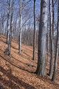Free Beech Tree Woodland Royalty Free Stock Photo - 4615495