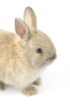 Baby Of Netherland Dwarf Rabbit Stock Photography