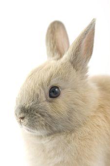 Baby Of Netherland Dwarf Rabbit Stock Photo