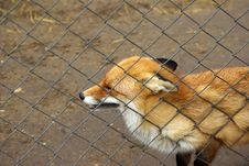 Free Wild Red Fox Stock Images - 4610644