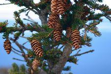 Free Pine Cones Stock Image - 4611041