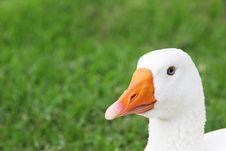 Blue Eyed White Goose Stock Photography