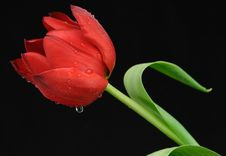 Free One Red Tulip With Dew Stock Images - 4611964