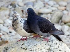 Free Pigeons Royalty Free Stock Photography - 4612327