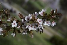Free White Flowers On Tree Royalty Free Stock Photos - 4612538
