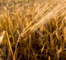 Free Wheat Ear Closeup Royalty Free Stock Photo - 4612715