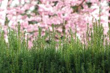 Hedge With Pink Flowers. Stock Image