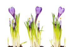 Free Crocus Royalty Free Stock Photo - 4614165