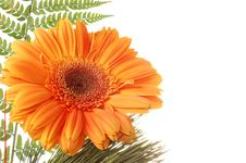 Free Flower Gerber Royalty Free Stock Images - 4615599