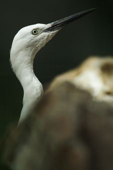 Free Egret Stock Photos - 4616123