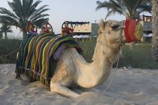 Camel Resting Stock Photography