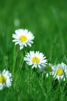 Free Cute Daisies And Green Grass Royalty Free Stock Image - 4617566