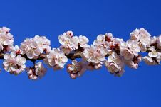 Free Cherry Branch Blossom Royalty Free Stock Images - 4617589