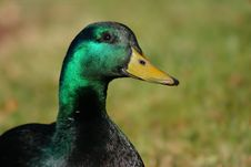 Free Duck Portrait Stock Images - 4618264