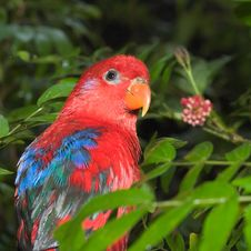 Free Red Lory Royalty Free Stock Photo - 4618355