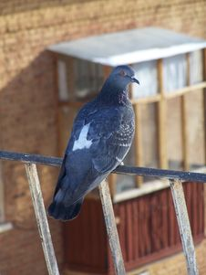 Roof Pigeon Royalty Free Stock Images