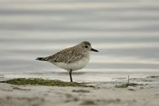 Free Black-bellied Plover Royalty Free Stock Images - 4618609