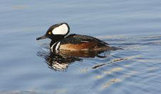 Free Hooded  Merganser Royalty Free Stock Photography - 4618677