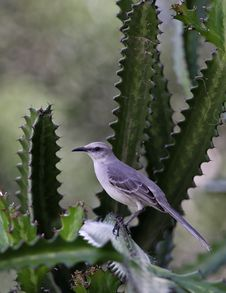 Free Caribbean Mockingbird Royalty Free Stock Images - 4618699