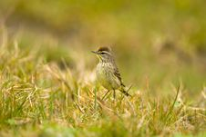 Free A Palm Warbler With An Attitude Royalty Free Stock Photography - 4618867