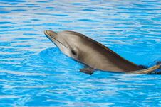 Free Bottle Nosed Dolphin Royalty Free Stock Photography - 4618907