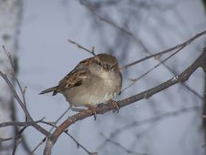 Free Sparrow Royalty Free Stock Images - 4619179