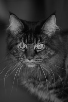 Free Portrait Of A Cat Stock Photos - 4619373