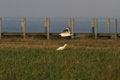 Free Egret In Flight Royalty Free Stock Photo - 46171075