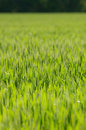 Free Wheat Field Royalty Free Stock Images - 4623489