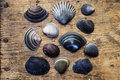 Free Shells On Driftwood Stock Image - 4625451