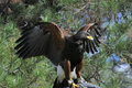 Free Harris Hawk Royalty Free Stock Image - 4628706