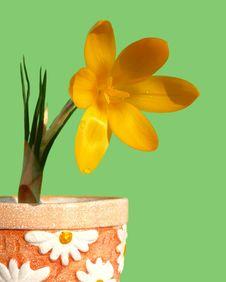 Crocus In Flower-pot Stock Image