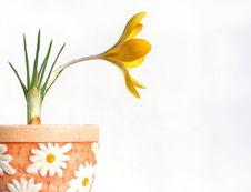 Free Yelloe Crocus In Flower-pot Stock Photo - 4620460