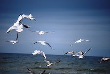 Free Seagulls Over The Sea Royalty Free Stock Image - 4620716