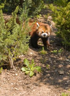 Free A Red Panda Royalty Free Stock Images - 4620769